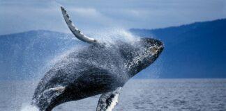 Đâu là eo biển bị gắn mác khu vực tử thần với loài cá voi? - 1