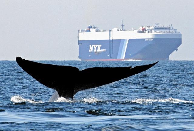 Đâu là eo biển bị gắn mác khu vực tử thần với loài cá voi? - 2